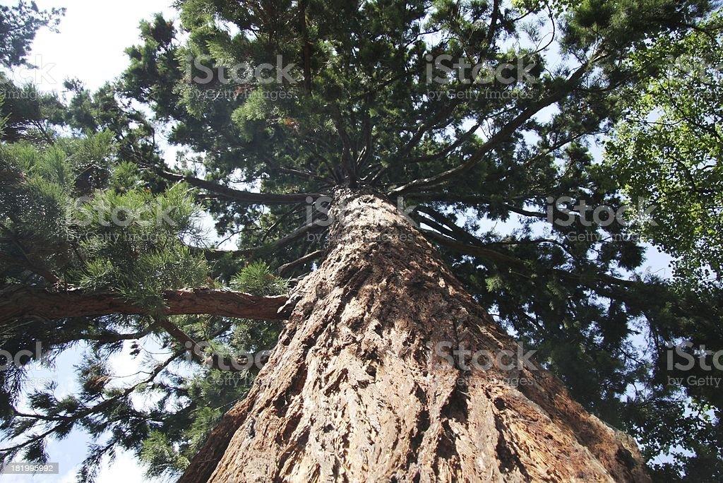 sequoia royalty-free stock photo