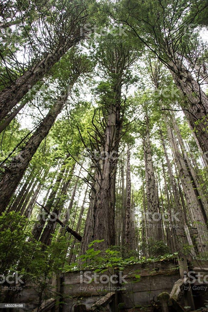 Sequoia Redwoods in Northern California stock photo