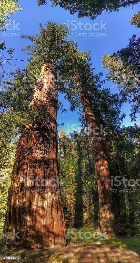 Sequoia sempervirens stock photo