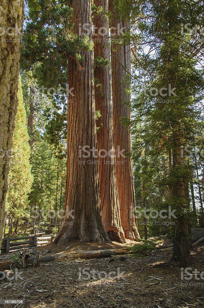 Sequoia - Three Sisters MLS stock photo
