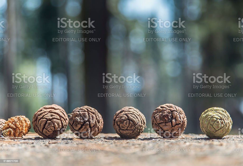 Sequoia tree cones with seeds on the ground royalty-free stock photo
