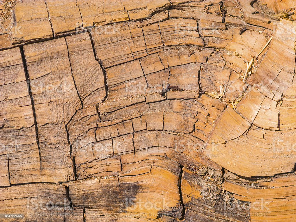 sequoia tree in detail royalty-free stock photo