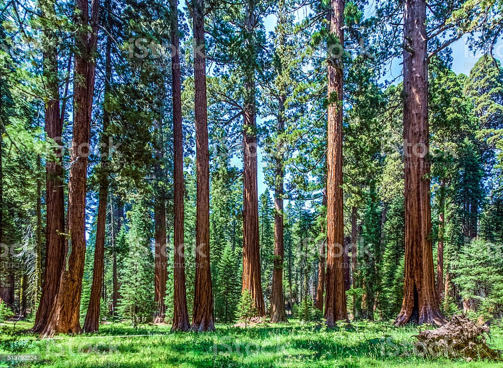 sequoia tree in the forest stock photo
