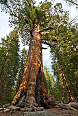 Sequoia tree, Redwood forest