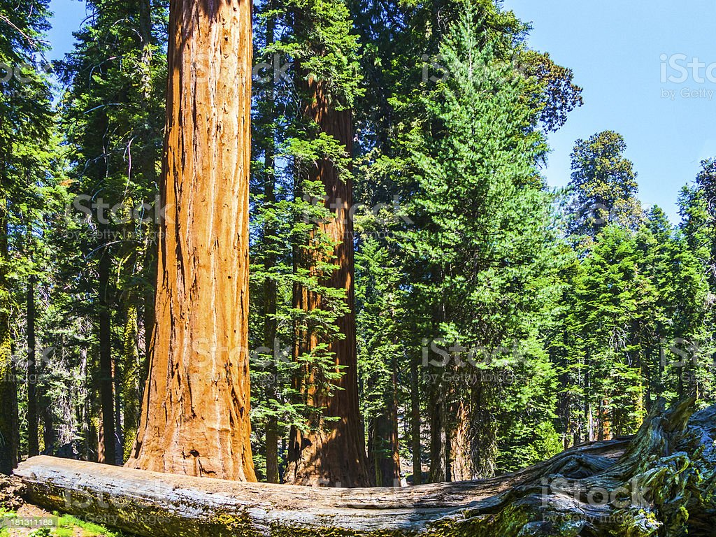 sequoia trees in the forest royalty-free stock photo