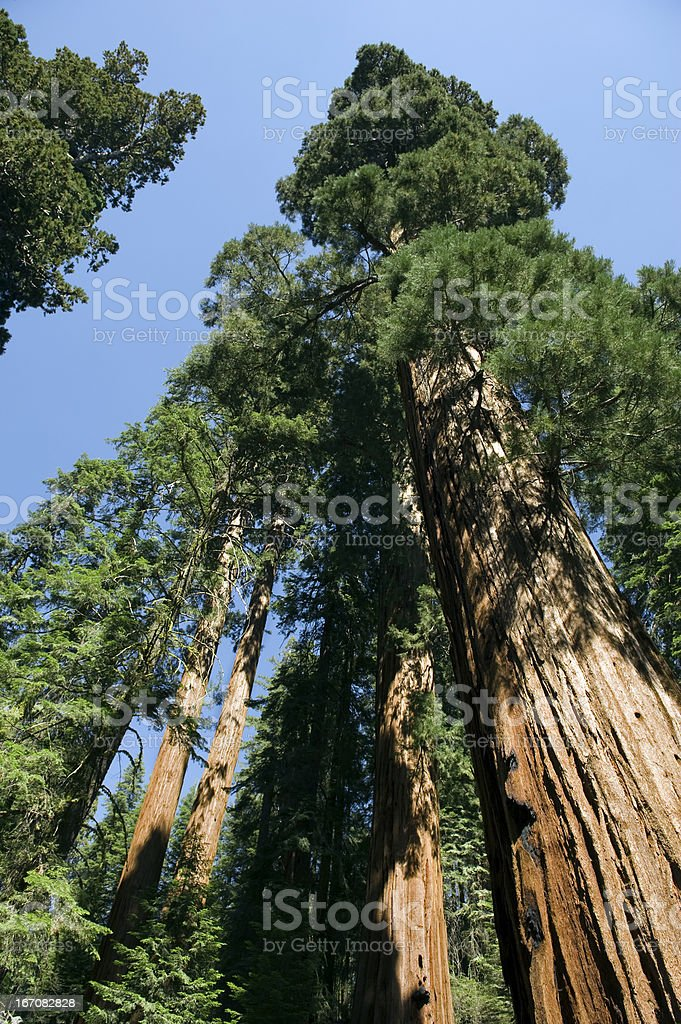 Sequoia Trees royalty-free stock photo
