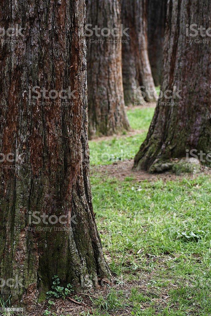 Sequoia Trees royalty-free stock photo