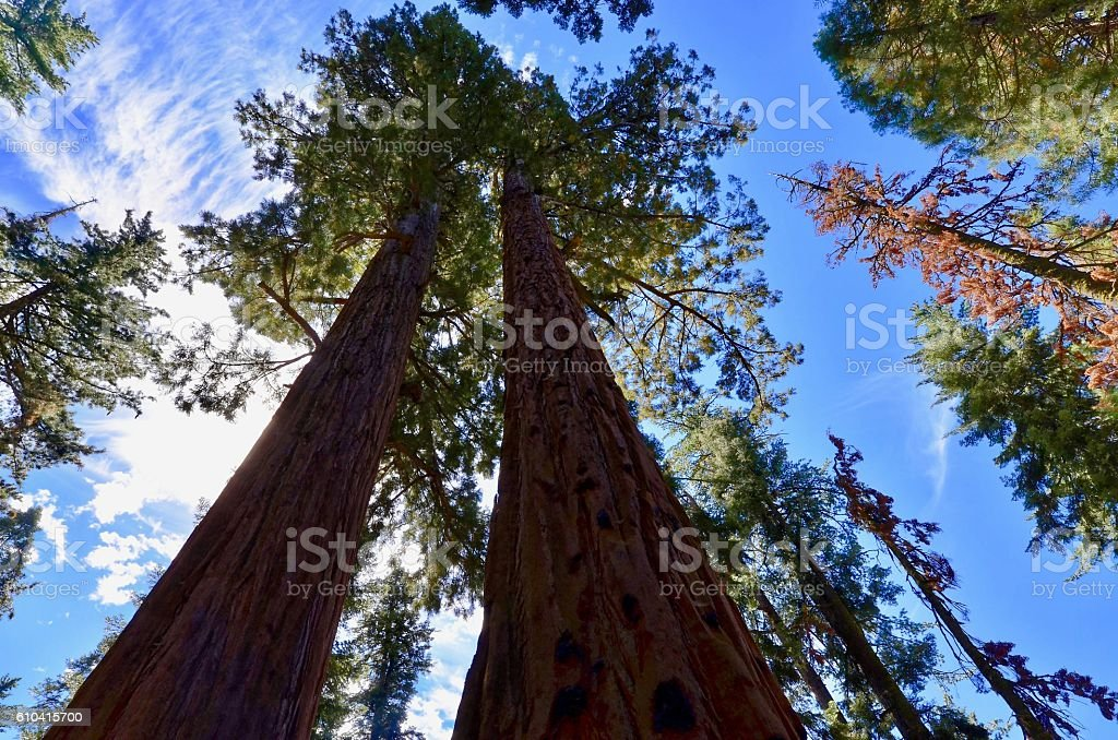 Sequoia Trees stock photo