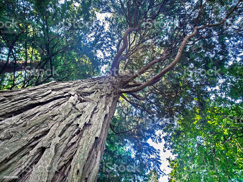 sequoia tropical tree view from below stock photo