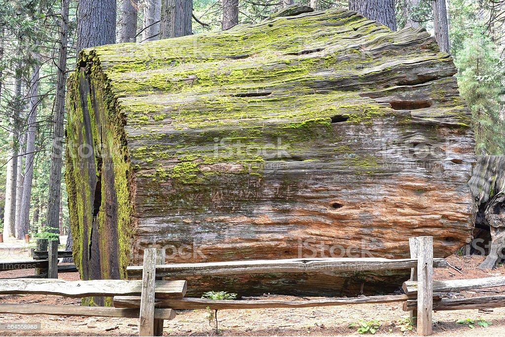 Sequoia trunk stock photo