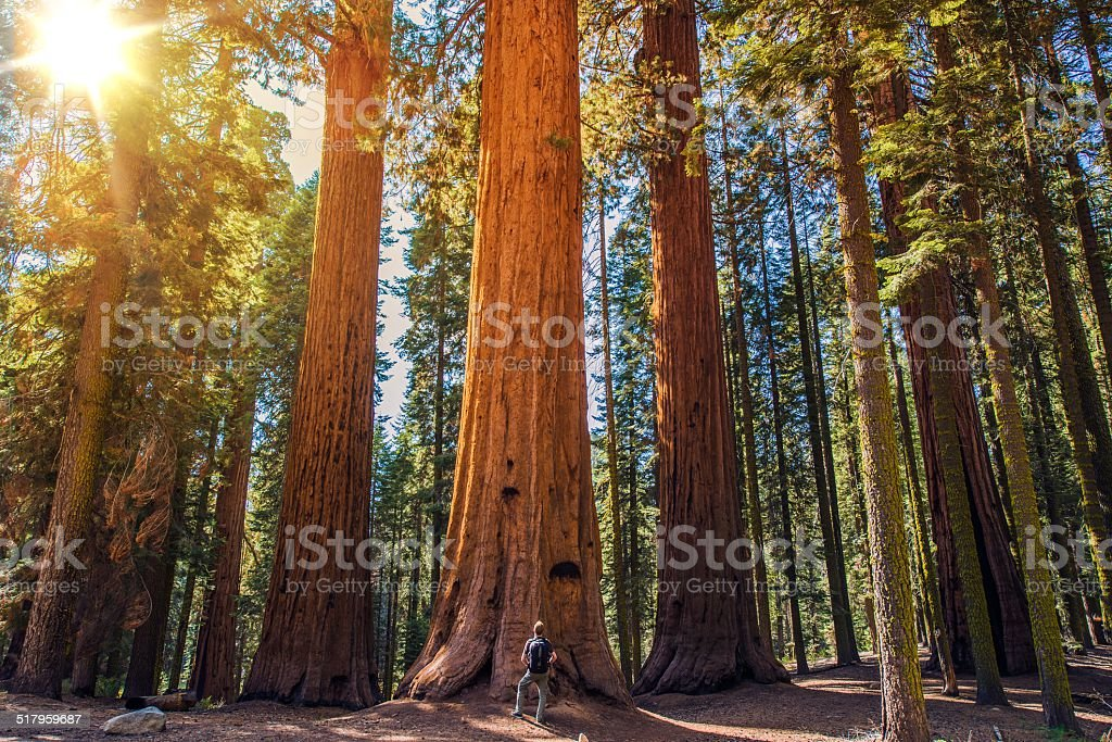 Sequoia vs Man stock photo