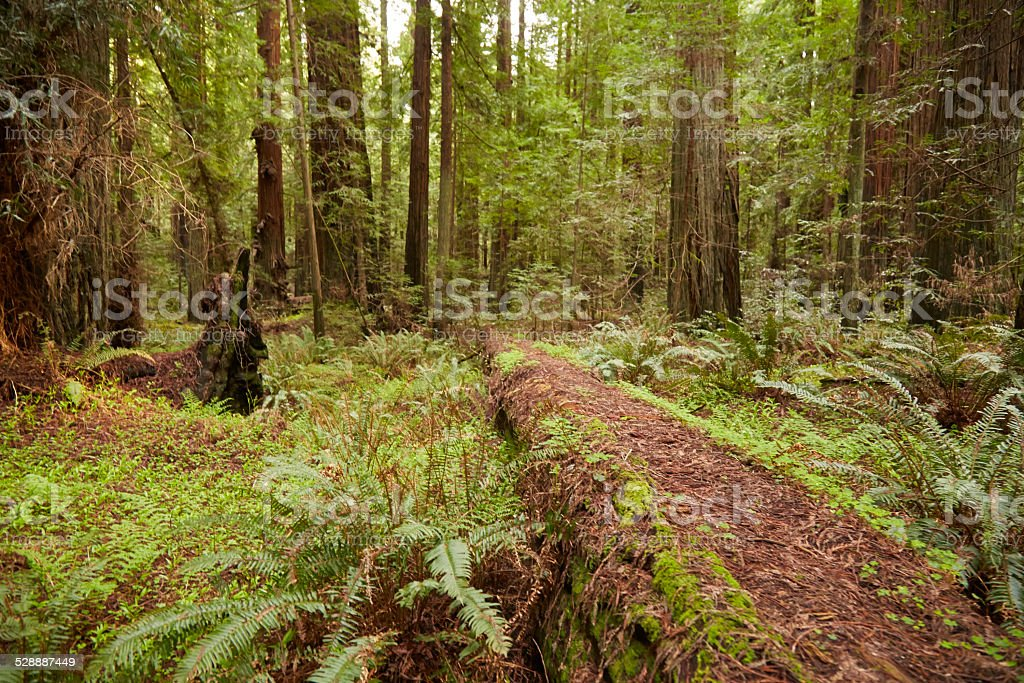 Sequoias in Humboldt Redwoods State Park, California stock photo