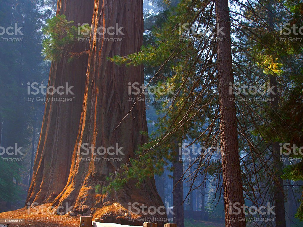 Sequoias on blue stock photo