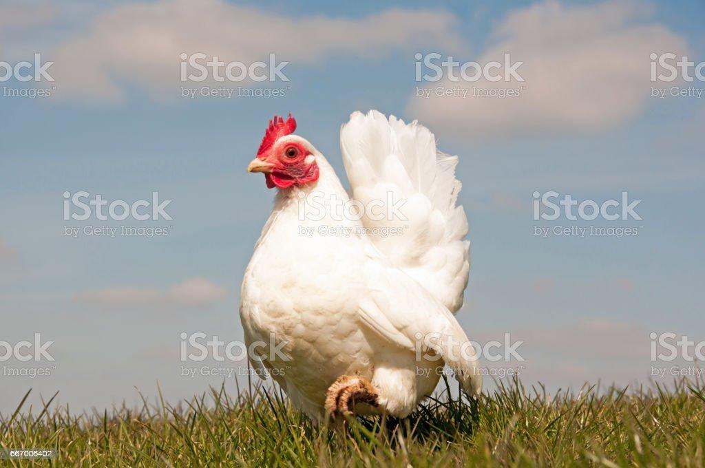 Serama hen stock photo