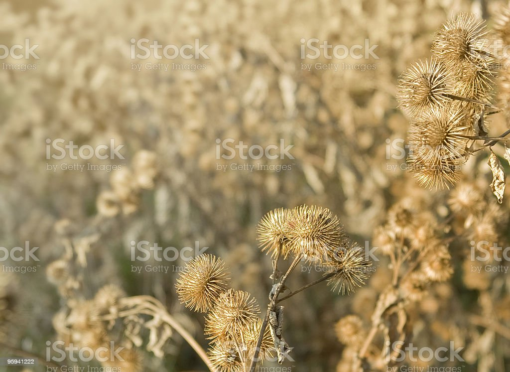 sere cocklebur detail royalty-free stock photo