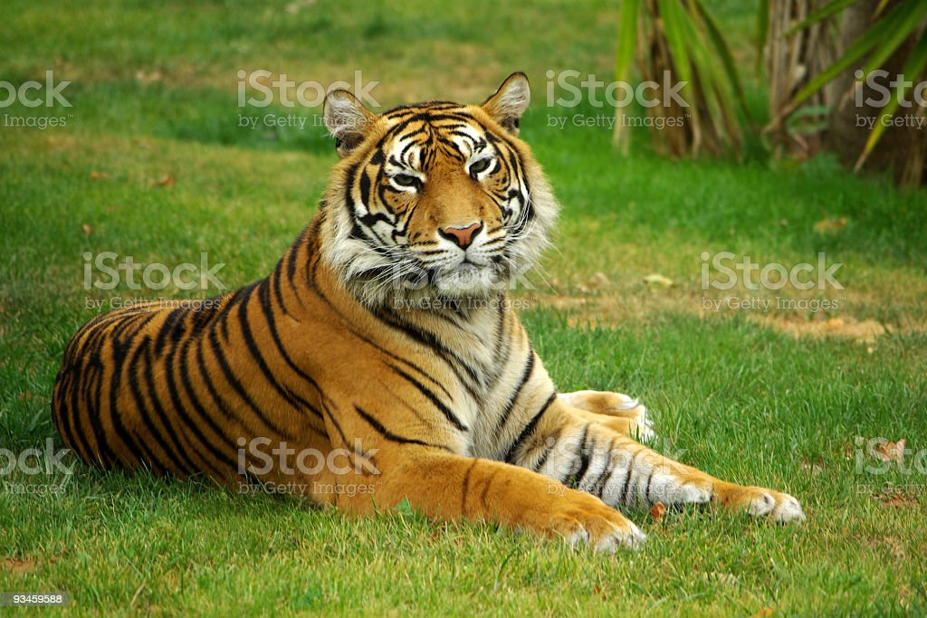 SereneTiger stock photo