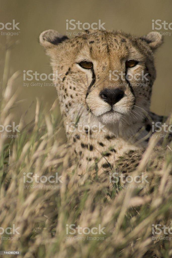 Serengeti Guepardo foto royalty-free