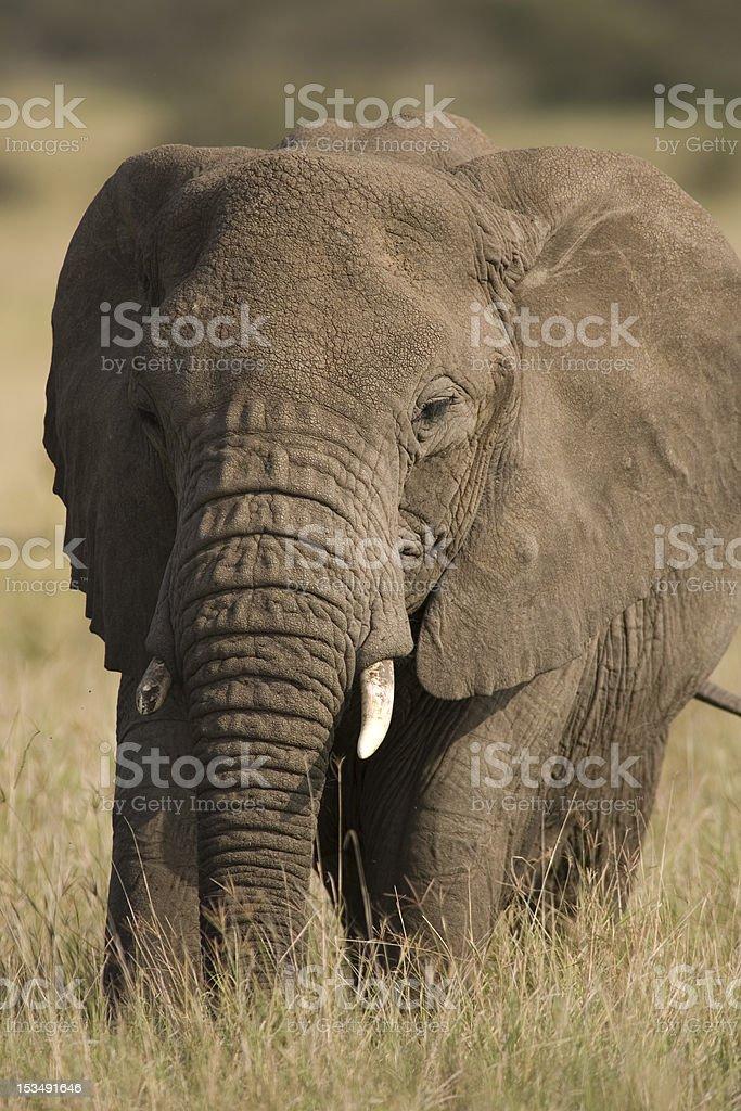 Serengeti elefante foto royalty-free