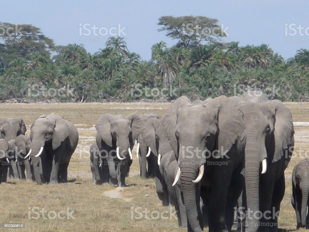 Serengeti elephants march royalty-free stock photo