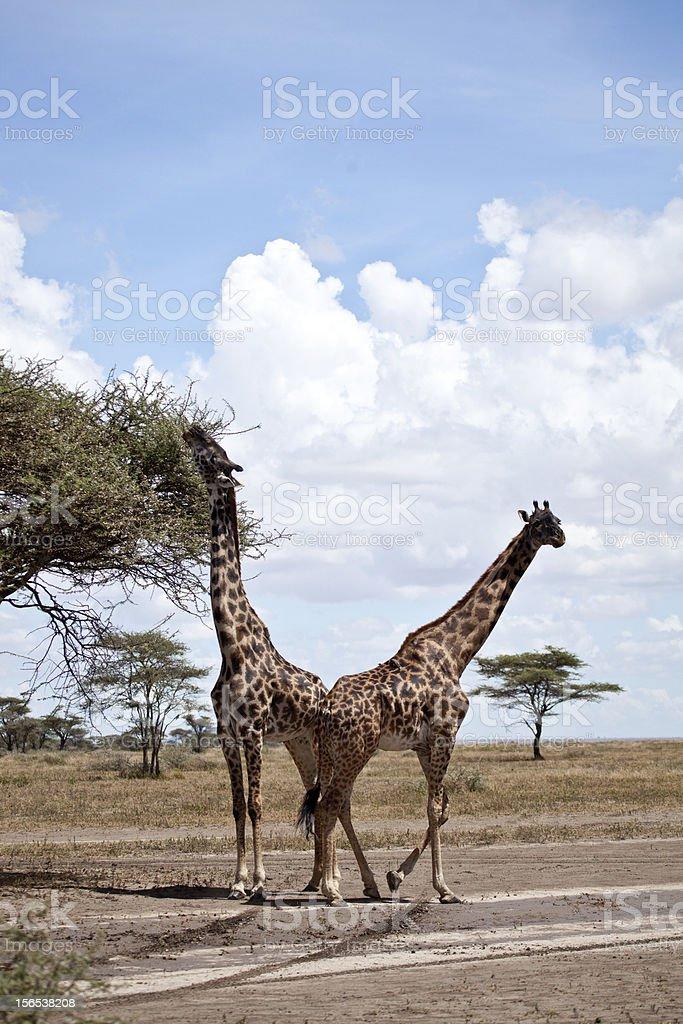 Serengeti Giraffes royalty-free stock photo
