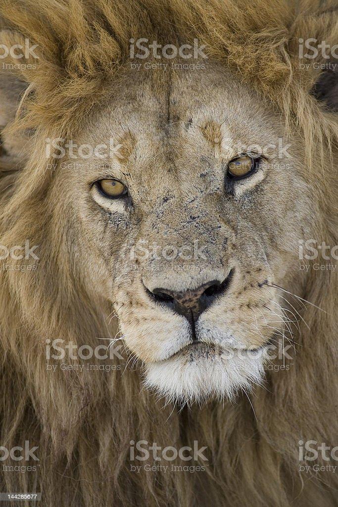 Serengeti Leão foto royalty-free