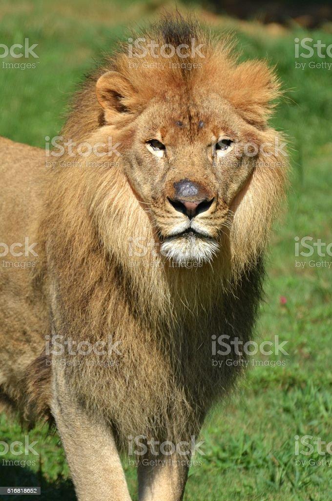 Serengeti Lion stock photo
