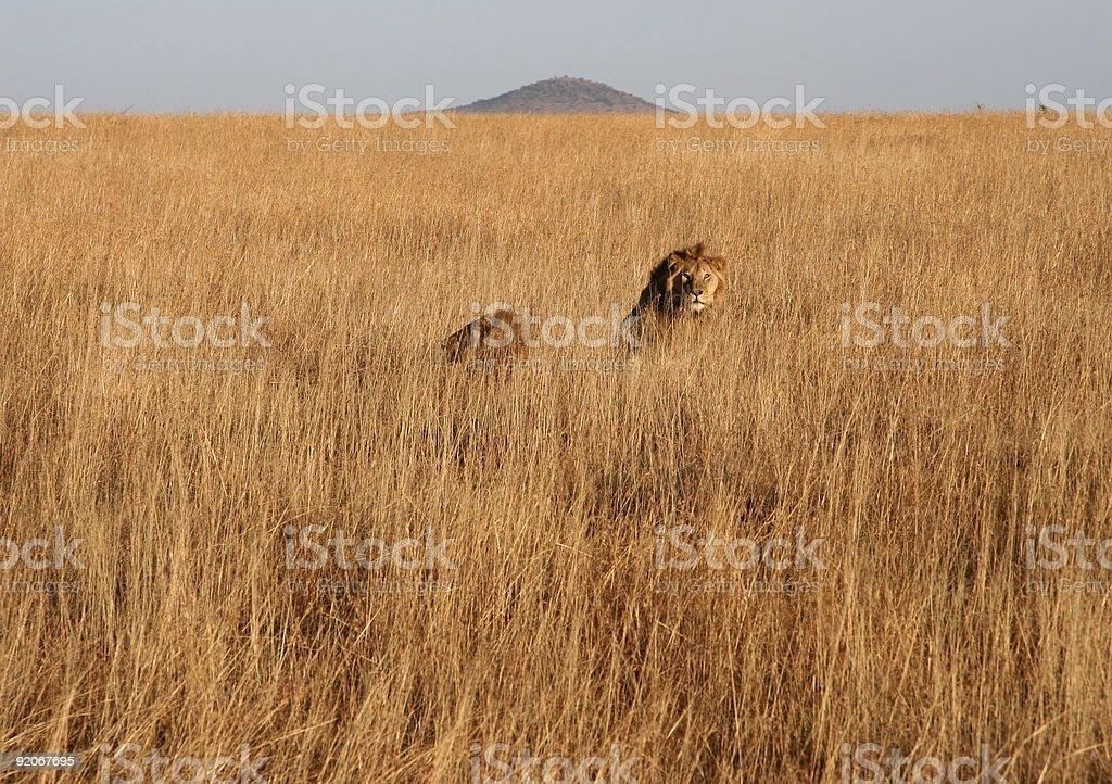 Serengeti Lions royalty-free stock photo