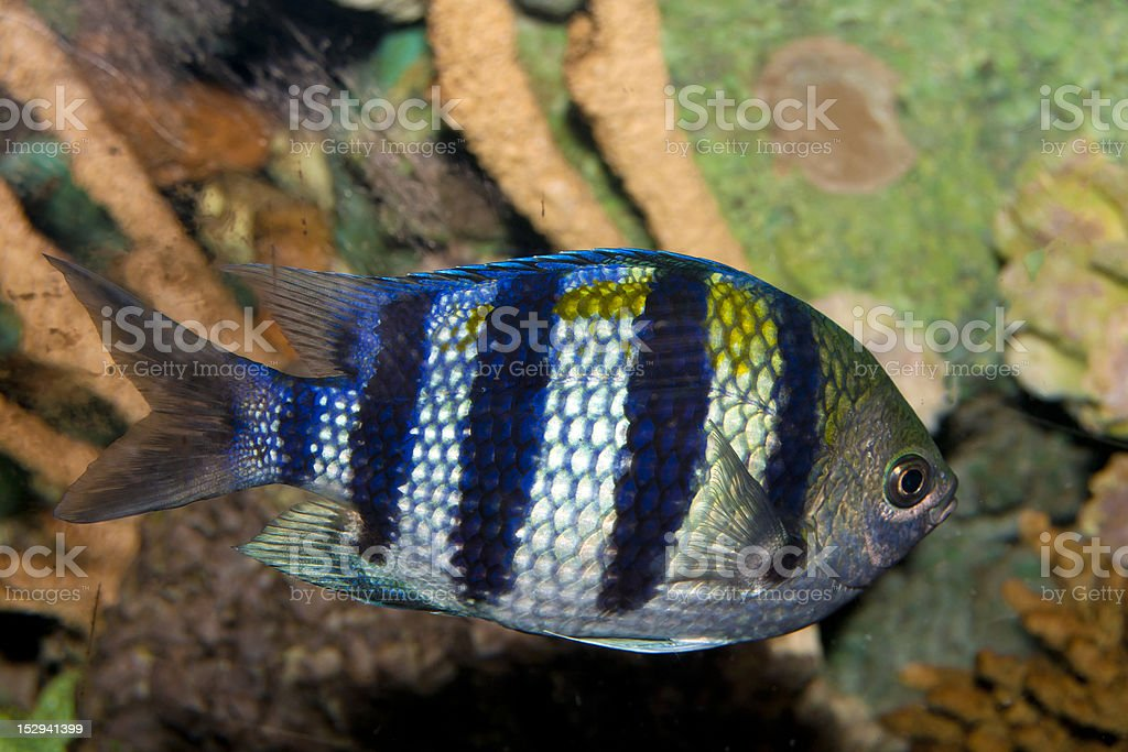 Sergeant Major Damsel Fish (Abudefduf saxatilis) royalty-free stock photo
