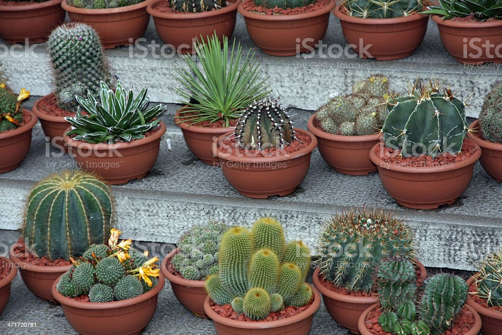 series of potted cactus for sale at the market royalty-free stock photo