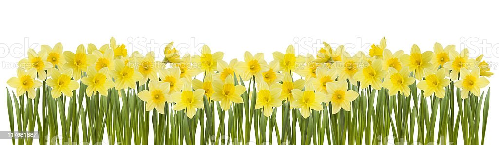 Series of yellow daffodils in white background royalty-free stock photo