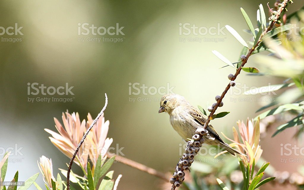 Serin des Canaries stock photo