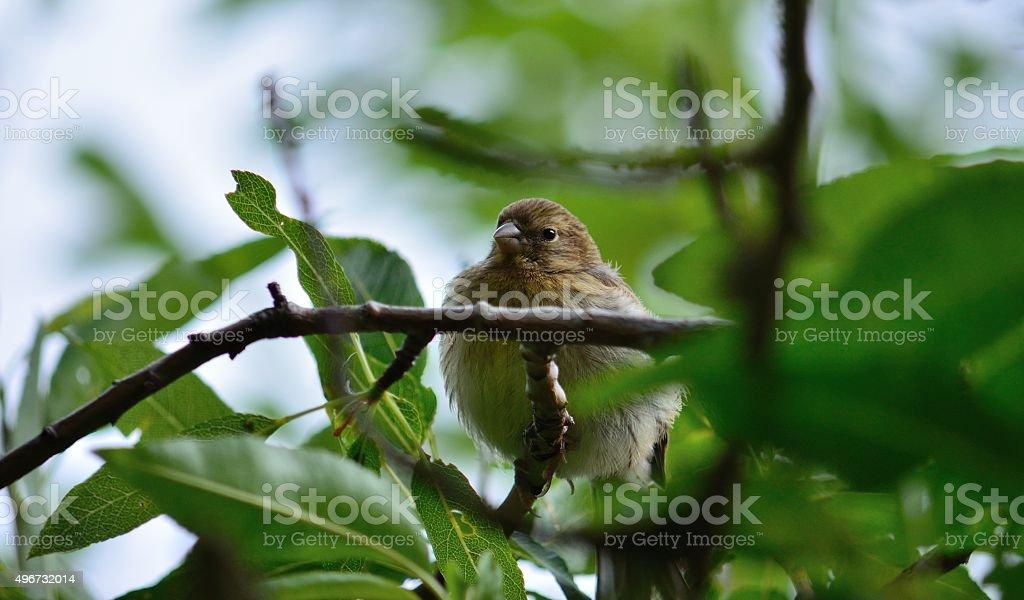 Serinus bird stock photo