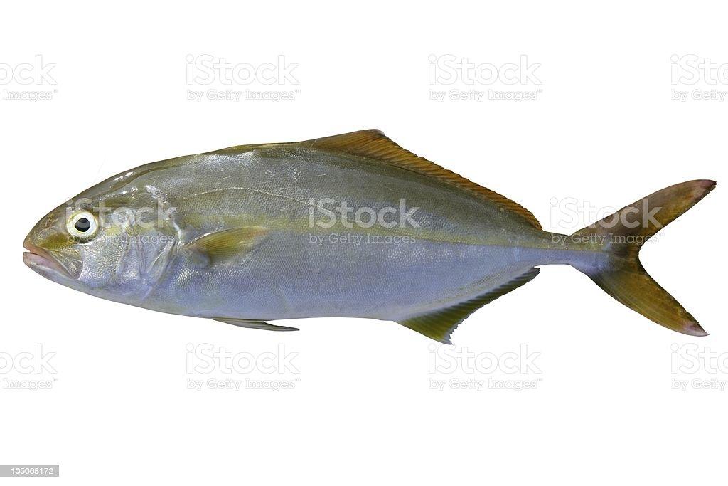 Seriola dumerili fish greater amberjack royalty-free stock photo