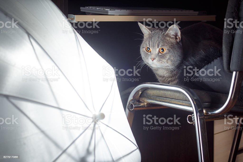 serious cat in photo studio stock photo
