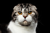 serious cat of scottish fold breed on isolated black background