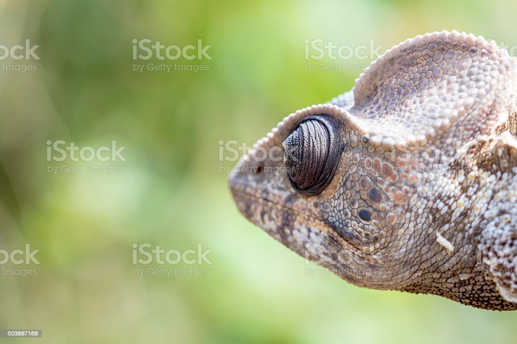 Serious chameleon head close up in Madagascar stock photo