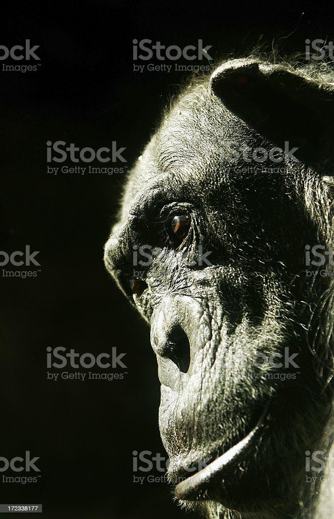 Serious Chimpanzee royalty-free stock photo