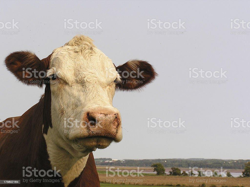 Serious Cow stock photo