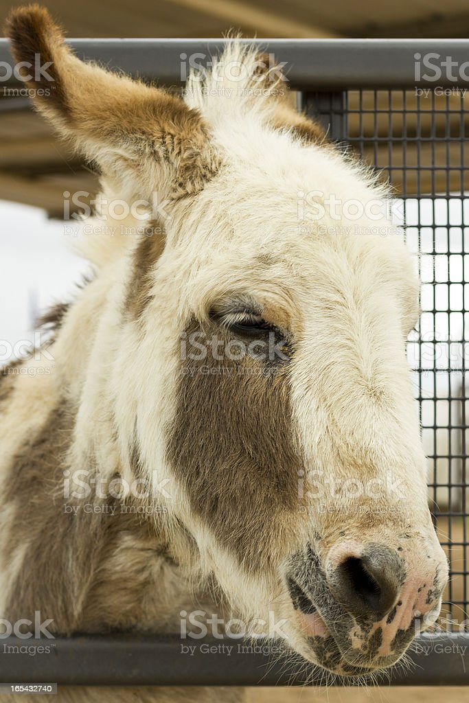 Serious Donkey royalty-free stock photo