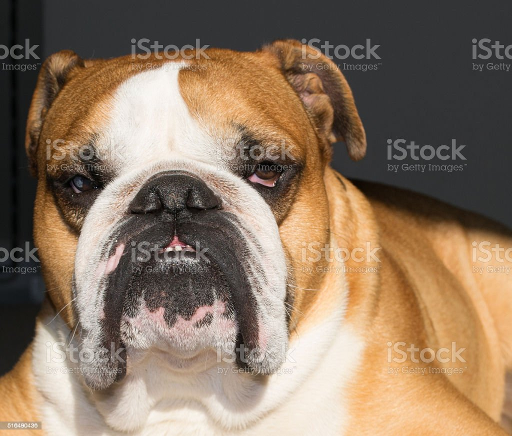 serious english bulldog funny relax stock photo