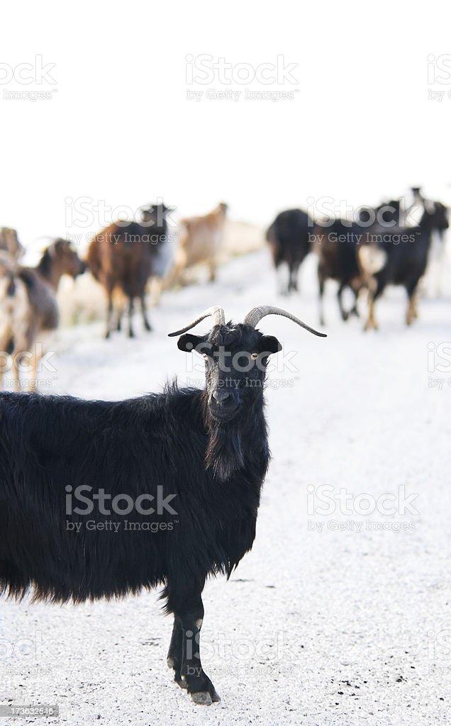 Serious goat royalty-free stock photo