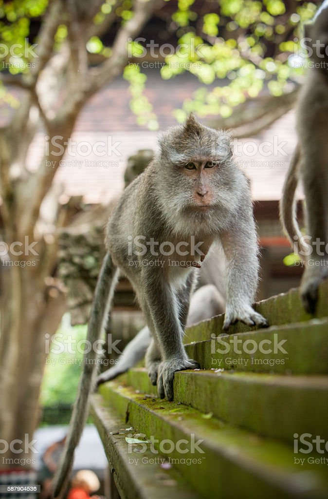 Serious Monkey stock photo