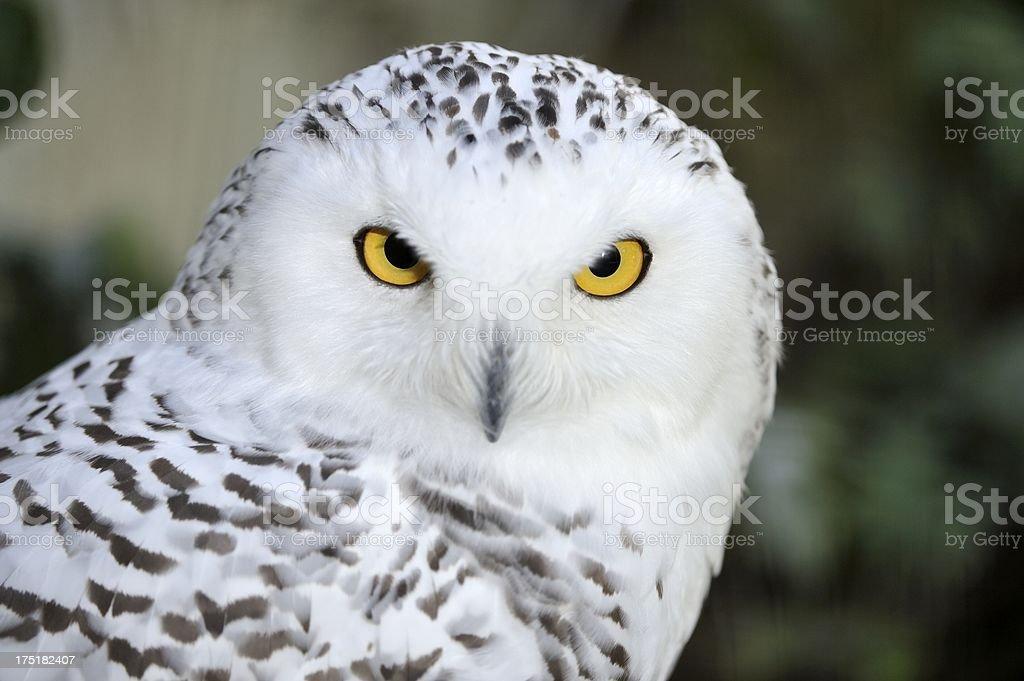 Serious Snowy Owl stock photo