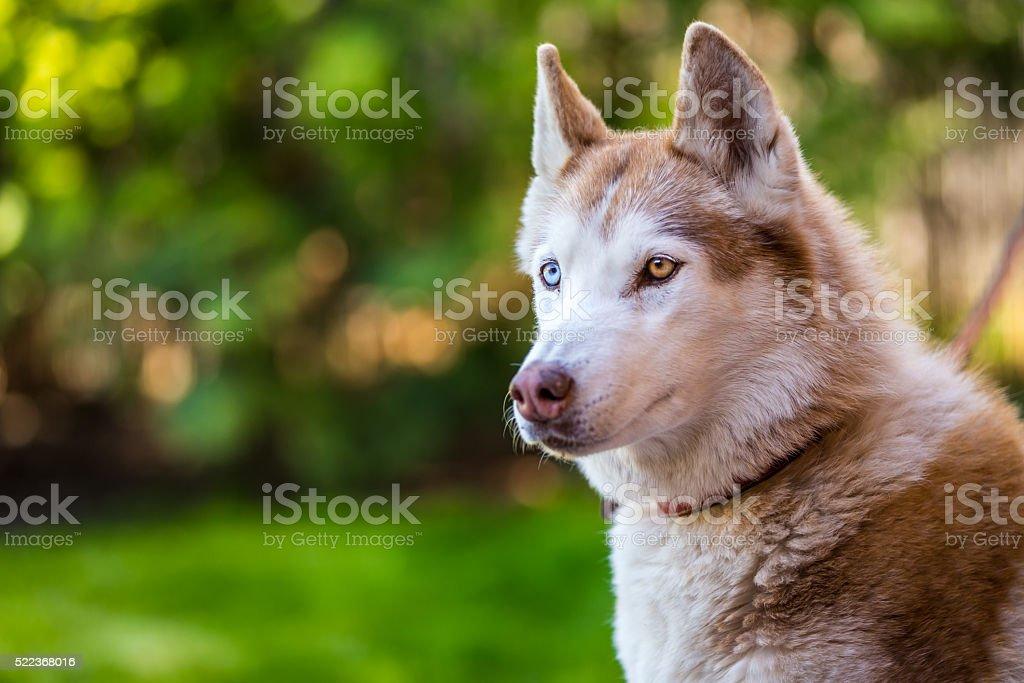 Seriously looking husky eyes. stock photo