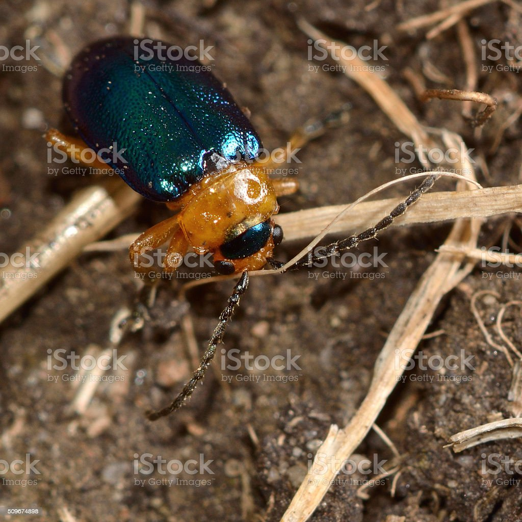 Sermylassa halensis beetle stock photo