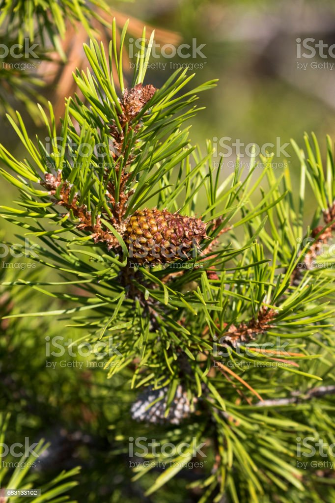 Serotous pine cone on Lodgepole pine stock photo