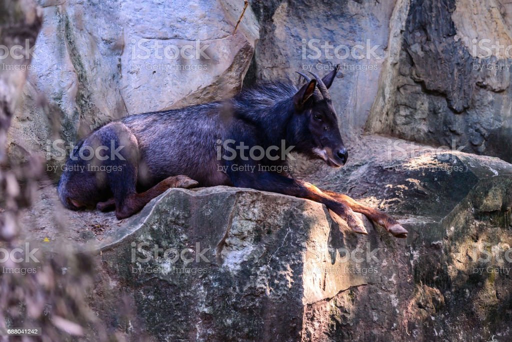 Serow sleeping on cliff, reserved wild animal species. stock photo
