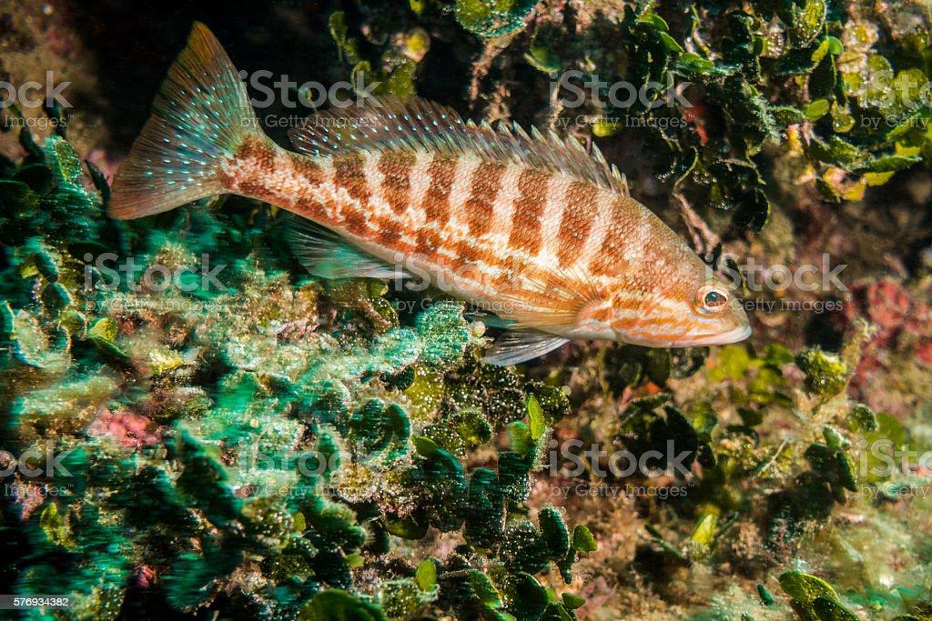 serranus cabrilla fish green algae reef orange stock photo