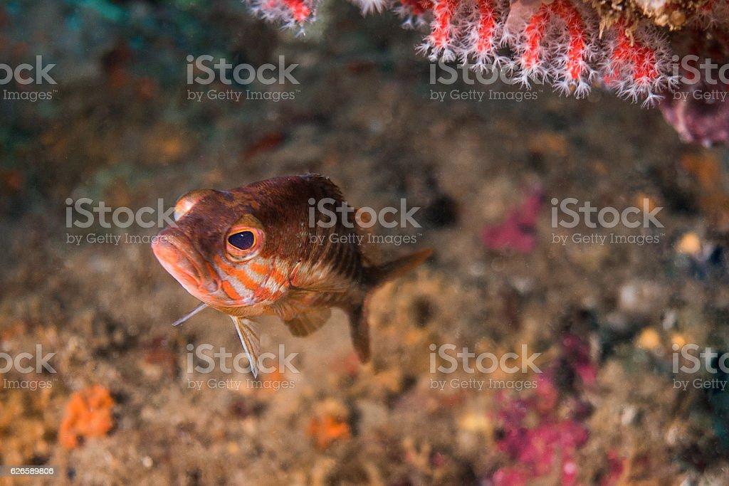 serranus cabrilla gaper coral isolated costa brava stock photo