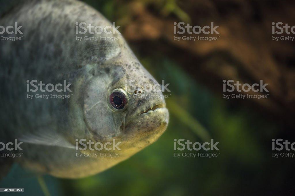 Serrasalmus rhombeus (Redeye Piranha,  Peruvian Black Piranha) stock photo